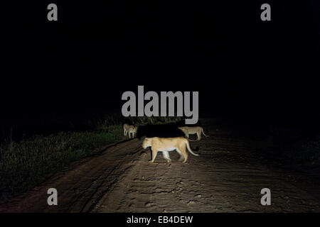 A pride of African Lions cross a dirt road in the middle of the night. - Stock Photo
