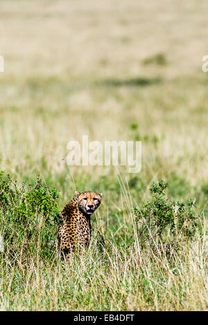 A female Cheetah looks over her shoulder from the grasslands of the savannah plain. - Stock Photo