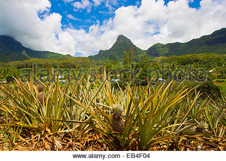 A pineapple farm on the island of Moorea, with mountains rising in the distance. - Stock Photo