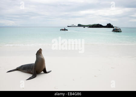 A sea lion on a Galapagos Island beach as expedition passengers come ashore in boats. - Stock Photo