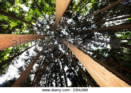 Cryptomeria trees imported to the Azores for their ability to grow quickly and withstand high winds. - Stock Photo