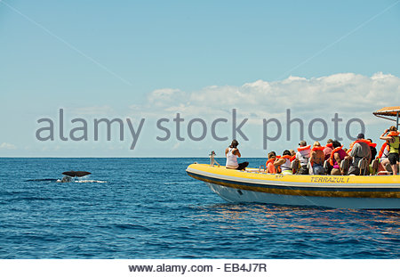 Whale watchers enjoy a moment where a sperm whale fluke rises above the surface of the ocean. - Stock Photo
