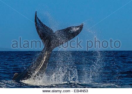 Fluke, Tail Lob, Humpback Whale  (Megaptera novaeangliae), Endangered Species, Hawaiian Islands Humpback Whale National - Stock Photo