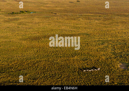 An aerial view of a herd of Grant's Zebra migrating and grazing on the vast short grass savannah plain at dawn. - Stock Photo