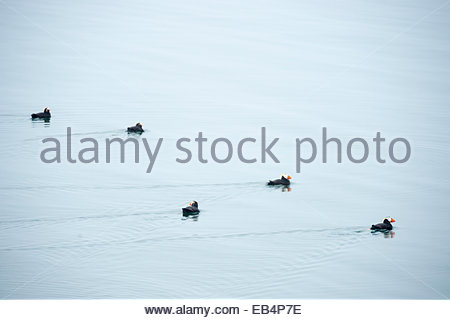 Five Tufted Puffins (Fratercula cirrhata) swim in the waters of Glacier Bay National Park, Alaska. - Stock Photo