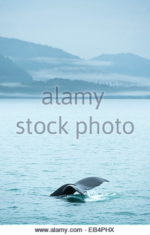 A humpback whale (Megaptera novaeangliae) tail lifts its tail out of the water before diving under the surface of - Stock Photo
