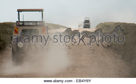 Zebras crossing a dirt road in front of a vehicle in Serengeti National Park. - Stock Photo