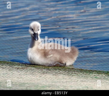 Baby mute swan, cygnus olor walking out of the waterlake - Stock Photo