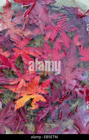 Frozen autumn fallen red acer leaves in a birdbath - Stock Photo