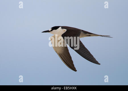 Sooty Tern (Sterna fuscata) - adult in flight - Stock Photo