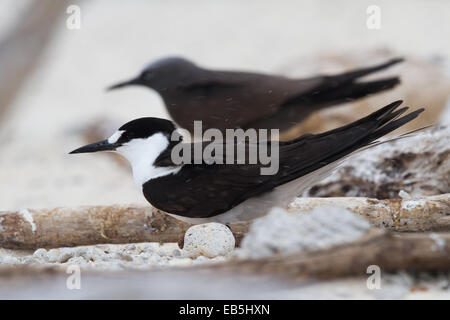 adult Sooty Tern (Sterna fuscata) - Stock Photo