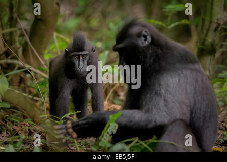 Sulawesi black-crested macaque (Macaca nigra) in Tangkoko nature reserves, North Sulawesi. - Stock Photo