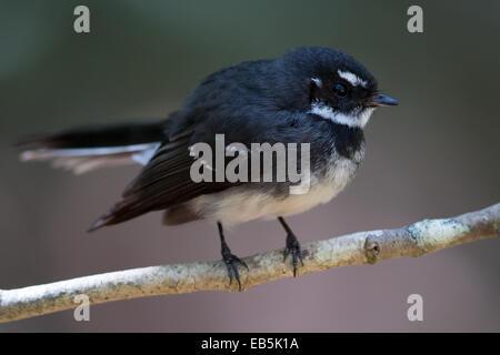 Grey Fantail (Rhipidura albiscapa) - Stock Photo