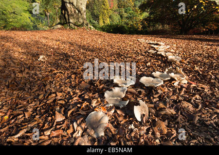 large magic folklore fairy ring beneath a mature old massive copper beech tree in the fall autumn with harsh sunny - Stock Photo