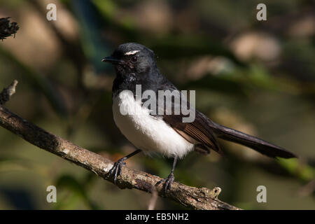 Willie Wagtail (Rhipidura leucophrys) - Stock Photo