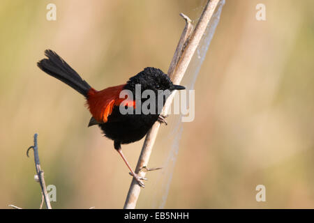 adult male Red-backed Fairywren (Malurus melanocephalus) perched on a reed stem - Stock Photo