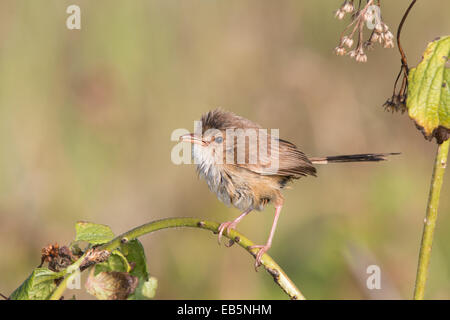 female / immature male Red-backed Fairywren (Malurus melanocephalus) perched on a thin branch - Stock Photo