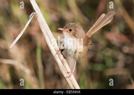 female / immature male Red-backed Fairywren (Malurus melanocephalus) perched on a reed stem - Stock Photo