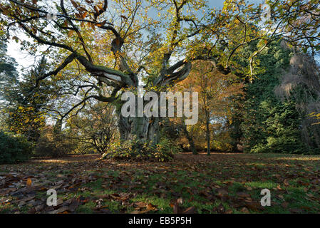 Mature ancient sweet chestnut that has die back with splayed out knobbly gnarled branches standing out against the - Stock Photo