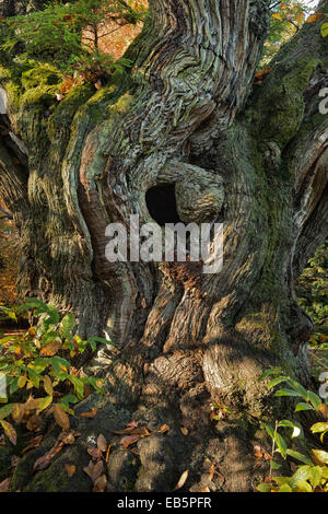 small yew tree sapling starting to grow on top of ancient gnarled sweet chestnut tree trunk with a hole leading - Stock Photo