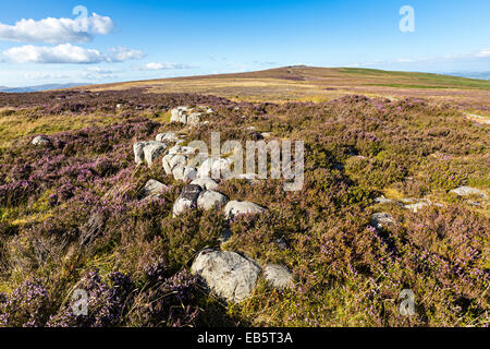 Heather Calluna vulgaris growing on The Blorenge, Abergavenny, Wales, UK - Stock Photo