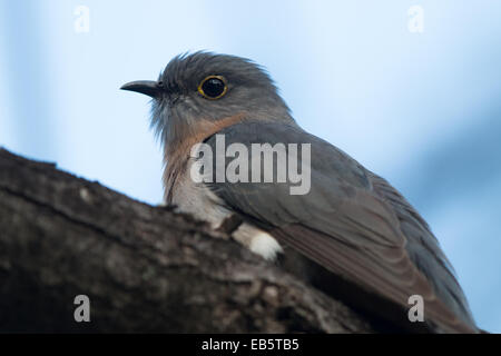 Fan-tailed Cuckoo (Cacomantis flabelliformis) - Stock Photo