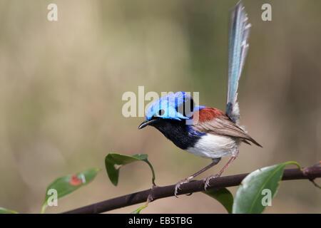 male Variegated Fairywren (Malurus lamberti) perched on a branch - Stock Photo
