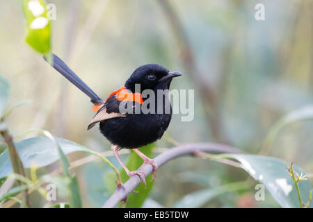 male Red-backed Fairywren (Malurus melanocephalus) - Stock Photo
