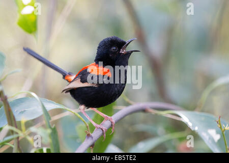 singing male Red-backed Fairywren (Malurus melanocephalus) - Stock Photo