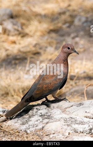 Laughing Dove (Spilopelia senegalensis) - Koinachas Waterhole - Etosha National Park, Namibia, Africa - Stock Photo