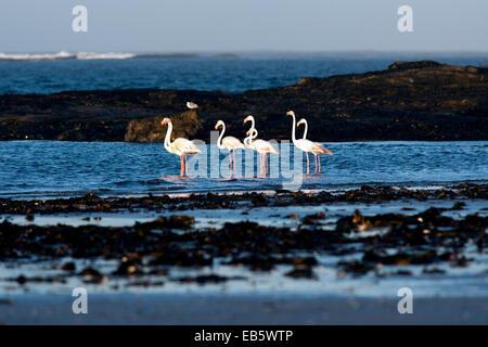 Greater Flamingos (Phoenicopterus roseus) - Diaz Point - Luderitz, Namibia, Africa - Stock Photo