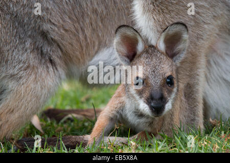 young Red-necked Wallaby (Macropus rufogriseus) joey peering out from its pouch protected by its mother - Stock Photo