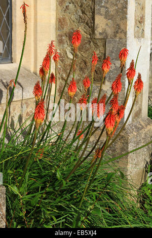 Red Hot Poker is a perennial that can remain in the same spot for several years. It is important that the soil is - Stock Photo