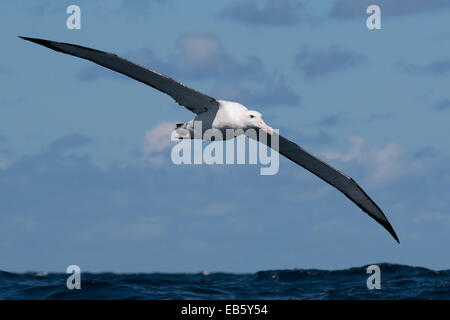 Wandering Albatross (Diomedea exulans) flying over the Pacific Ocean - Stock Photo