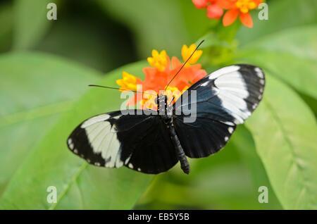 Heliconius sapho and scarlet milkweed (Asclepias curassavica) - Stock Photo