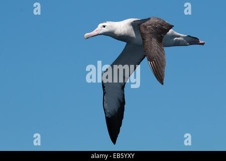 Wandering Albatross (Diomedea exulans) in flight - Stock Photo