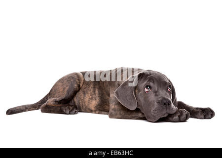 grey cane corso puppy dog laying down in front of a white background and looking up