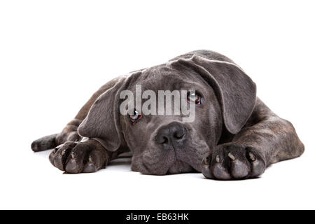 grey cane corso puppy dog laying in front of a white background and staring at camera
