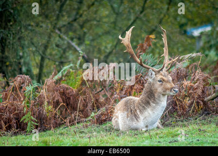 Deer in the New forest early in the morning - Stock Photo