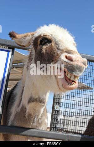 Smiling Donkey, Equus africanus asinus - Stock Photo