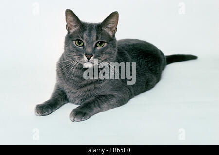 Adult, Tabby Cat