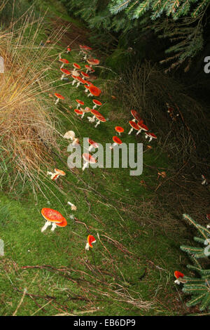 Fly Agaric Toadstools on the Isle of Man - Stock Photo