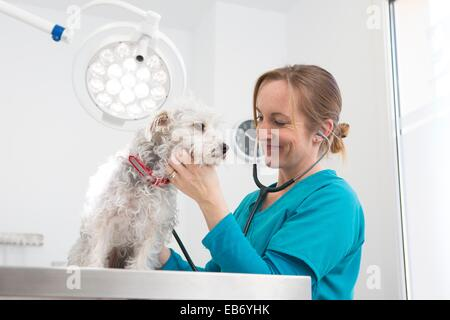 Veterinarian examines a mixed-breed Poodle/Terrier in her surgery - Stock Photo