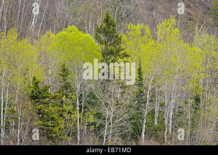 Spring aspens, spruce and birches on a hillside at the edge of a meadow, Greater Sudbury Lively, Ontario, Canada - Stock Photo