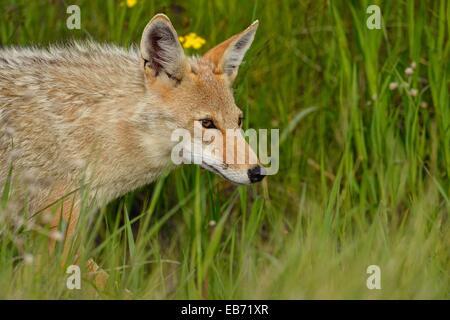 Coyote (Canis latrans) Trotting through flower meadow near park road, Glacier National Park, Montana, USA. - Stock Photo