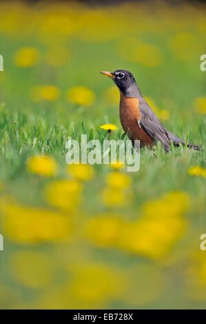American robin (Turdus migratorius) Hunting among dandelions on a residential lawn, Greater Sudbury (Lively), Ontario, - Stock Photo