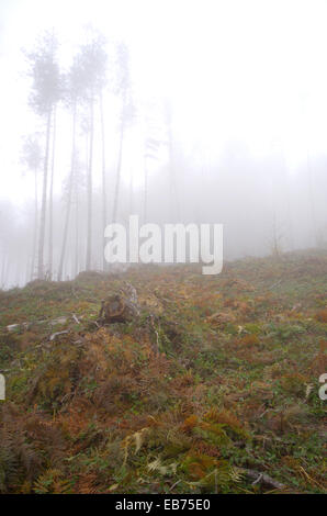 Hewn pine forest. Foggy day in the mountains. - Stock Photo