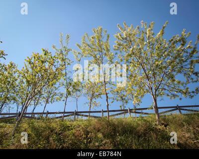 Black Locust, false acacia Robinia pseudoacacia trees against blue sky. Barcelona, Catalonia, Spain. - Stock Photo