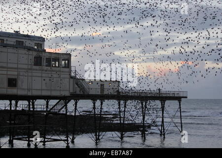 Aberystwyth Wales . A murmuration of starlings return to roost on the pier at sundown. - Stock Photo