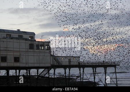 Aberystwyth Wales. A murmuration of starlings return to roost on the pier at sundown. - Stock Photo